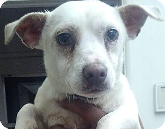 Jack Russell Terrier/Chihuahua Mix Dog for adoption in San Diego, California - Jackson URGENT