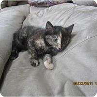 Adopt A Pet :: Diva - Sterling Hgts, MI