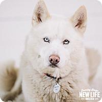 Adopt A Pet :: Balto - Portland, OR
