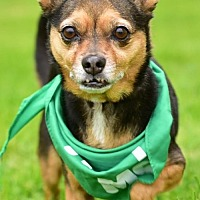 Miniature Pinscher/Chihuahua Mix Dog for adoption in Marina Del Ray, California - NUGGET