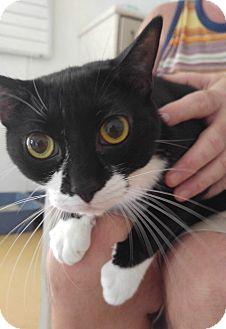 Domestic Shorthair Cat for adoption in Sarasota, Florida - Spook