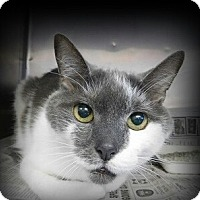 Domestic Shorthair Cat for adoption in Ocala, Florida - SMOKEY