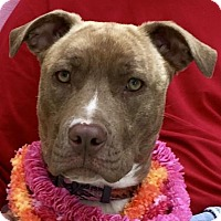 American Staffordshire Terrier Mix Dog for adoption in Evansville, Indiana - Rose