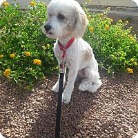 Adopt A Pet :: Butters - Las Vegas, NV