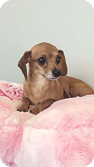 Dachshund Mix Dog for adoption in Weston, Florida - Anise