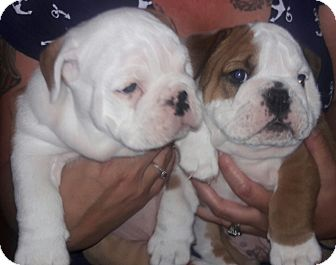 English Bulldog Puppy for adoption in Chandler, Arizona - Appa & potato