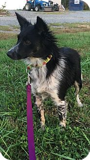 Border Collie Mix Dog for adoption in Rockville, Maryland - Missy