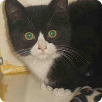 Domestic Mediumhair Kitten for adoption in Pittsburgh, Pennsylvania - LEMON