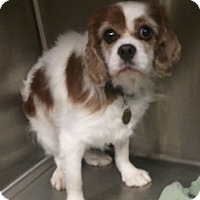 Adopt A Pet :: Charlie - Oak Ridge, NJ