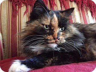 Ragdoll Cat for adoption in Edina, Minnesota - Miss Priss C160134
