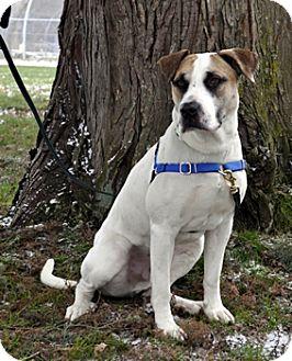 American Bulldog Mix Dog for adoption in Woodburn, Oregon - Chaplin