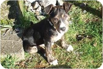 Mastiff/Rottweiler Mix Puppy for adoption in Graham, Washington - JAX