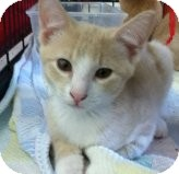 Domestic Shorthair Kitten for adoption in Riverside, Rhode Island - Daryl