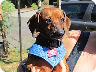 Dachshund Dog for adoption in Portland, Oregon - DUSTY