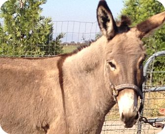 Donkey/Mule/Burro/Hinny Mix for adoption in Newcastle, California - Maddie