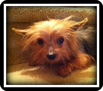 Yorkie, Yorkshire Terrier Dog for adoption in Indian Trail, North Carolina - Carson
