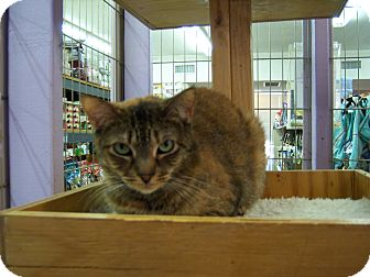Domestic Shorthair Cat for adoption in Whittier, California - Cinnamon