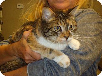American Shorthair Cat for adoption in Cerritos, California - Suki