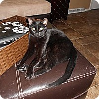 Domestic Shorthair Cat for adoption in St. Louis, Missouri - Sumatra
