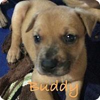 Adopt A Pet :: Buddy - Salem, MA