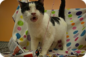 Domestic Shorthair Cat for adoption in East Smithfield, Pennsylvania - Chuck