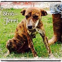 Adopt A Pet :: Jerri - Dillon, SC