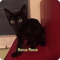 Adopt A Pet :: Hocus Pocus - Baton Rouge, LA