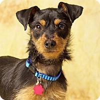 Adopt A Pet :: Bruiser - Gilbert, AZ