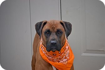 Black Mouth Cur/Rhodesian Ridgeback Mix Dog for adoption in New York, New York - Milo