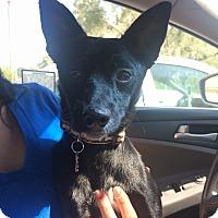 Adopt A Pet :: Pepper - Encino, CA
