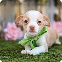 Adopt A Pet :: Nacho - Auburn, CA