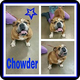 English Bulldog Dog for adoption in Park Ridge, Illinois - Chowder