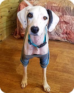 Hound (Unknown Type)/Dalmatian Mix Dog for adoption in Kingston, Tennessee - Bentley