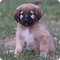 Adopt A Pet :: Beckham - Mechanicsburg, PA