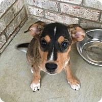 Shepherd (Unknown Type)/Labrador Retriever Mix Puppy for adoption in Nashville, Tennessee - Bubba