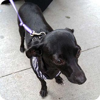 Dachshund/Chihuahua Mix Dog for adoption in New York, New York - Balthazar!