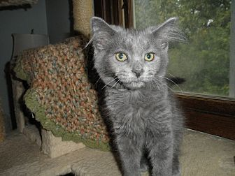 Domestic Longhair Kitten for adoption in Milwaukee, Wisconsin - Rapidash