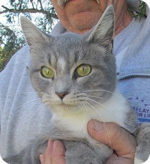 Domestic Shorthair Cat for adoption in Germantown, Maryland - Hazel
