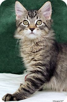 Domestic Longhair Cat for adoption in St Louis, Missouri - Jack