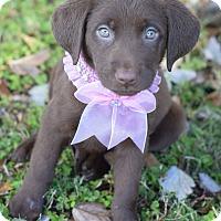 Adopt A Pet :: Libby - Denver, CO