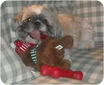 Shih Tzu Dog for adoption in Mesa, Arizona - Marley