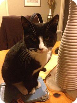 American Shorthair Kitten for adoption in Brooklyn, New York - Minky