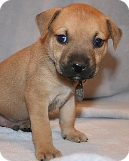 German Shepherd Dog/Labrador Retriever Mix Puppy for adoption in Scottsdale, Arizona - Owen