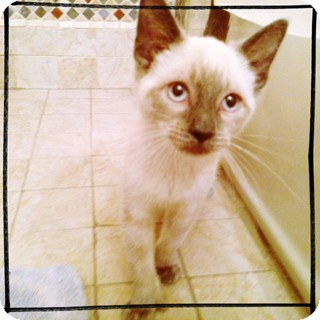 Siamese Kitten for adoption in Brooklyn, New York - Pepper