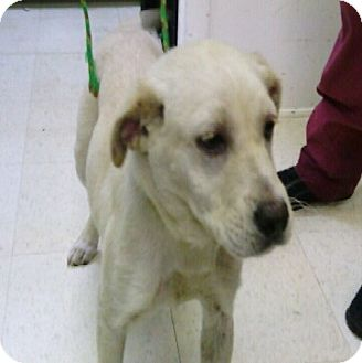 Labrador Retriever Mix Dog for adoption in Waldorf, Maryland - Darla #422