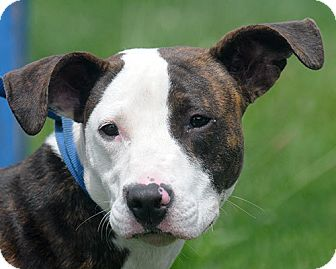 Whippet Terrier Mix http://www.adoptapet.com/pet/9295714-new-haven-connecticut-whippet-mix