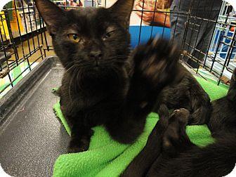 Domestic Longhair Cat for adoption in Columbus, Georgia - Jody