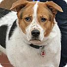 Adopt A Pet :: Benji