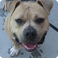 Adopt A Pet :: Stella - San Jose, CA