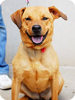 Labrador Retriever/Terrier (Unknown Type, Medium) Mix Dog for adoption in Detroit, Michigan - Spunky/Sierra-Adopted!